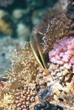 hawkfish couvert de taches de rousseur Photo stock