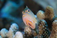 hawkfish del Arco-ojo Fotografía de archivo libre de regalías