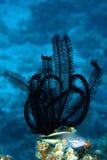Hawkfish di Blackside Fotografia Stock