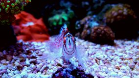 Hawkfish do anão foto de stock royalty free