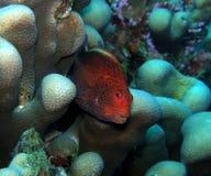 Hawkfish Freckled rosso-cupo Fiji Fotografie Stock Libere da Diritti