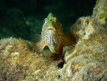 Hawkfish front view Royalty Free Stock Photo