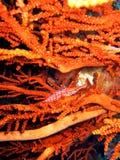 hawkfish longnose стоковое изображение