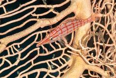 hawkfish longnose στοκ εικόνες με δικαίωμα ελεύθερης χρήσης