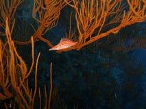hawkfish longnose Стоковое Фото