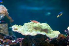 Hawkfish Longnose no aquário Imagem de Stock