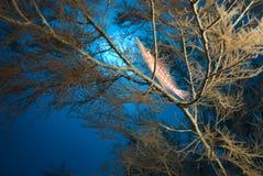 hawkfish longnose typus oxycirrhites Στοκ Φωτογραφίες