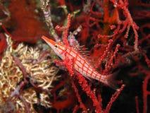 hawkfish longnosed Стоковое фото RF