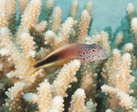 Hawkfish perched on a hard coral Stock Image