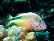hawkfish piegowaci Fotografia Stock