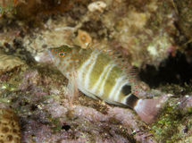hawkfish redspotted Obraz Stock