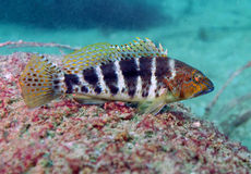 Hawkfish Resting on a Reef Stock Photo