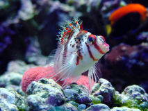 Hawkfish Royalty Free Stock Images