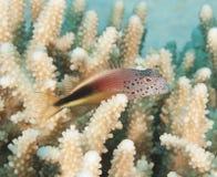 Hawkfish se encaramó en un coral duro Imagen de archivo