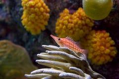 Hawkfish y coral Imagen de archivo libre de regalías