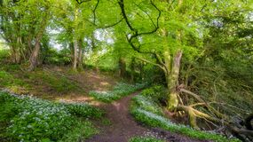Wild garlic and country lanes in the Hangers above Petersfield, Hampshire, UK
