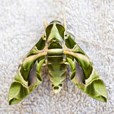 Hawkmoth égyptien Image stock