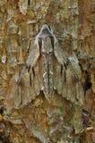 hawkmoth πεύκο Στοκ Εικόνες