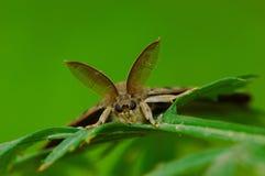 Hawkmoth'antennae masculinos Fotografía de archivo libre de regalías
