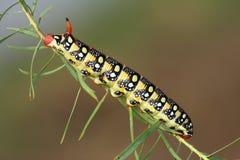 Hawkmoth caterpillar (Hyles euphorbiae) Stock Photography