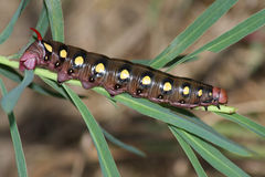 Hawkmoth caterpillar (Hyles gallii) Royalty Free Stock Photo