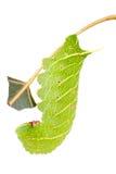 Hawkmoth caterpillar on white Royalty Free Stock Photos