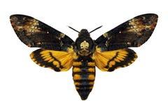Hawkmoth da cabeça de mortos Fotografia de Stock Royalty Free