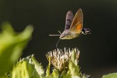 Hawkmoth del colibrì (stellatarum di Macroglossum) Fotografie Stock Libere da Diritti