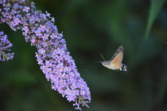 hawkmoth del colibrì & x28; Stellatarum& x29 di Macroglossum; Immagine Stock