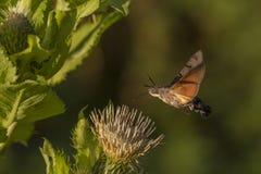 Hawkmoth del colibrí (stellatarum de Macroglossum) Fotos de archivo libres de regalías