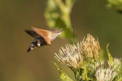 Hawkmoth del colibrí (stellatarum de Macroglossum) Fotos de archivo