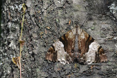 The hawkmoth and the dry bark. Hawkmoth's color seems like  the color of the withered bark, its wings are good tools to protect itself Stock Photo