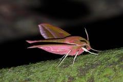 hawkmoth elpenor deilephila Стоковые Фото