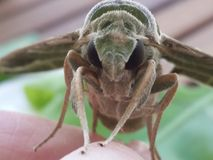 Hawkmoth Stock Photography