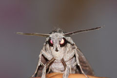 Hawkmoth portrait (Sphinx convolvuli) Royalty Free Stock Photography