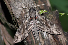 Hawkmoth (Sphinx convolvuli) Stock Photos