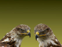 Hawks. Close up of a pair of hawks Stock Photos