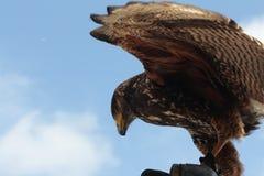 Hawks Stock Photo