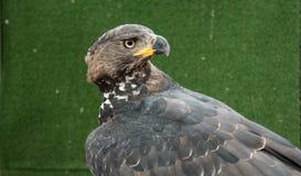 Hawks. Formidable Eye of the Hawk Stock Photography