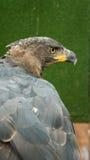 Hawks. Formidable Eye of the Hawk Royalty Free Stock Photos