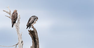 Hawks lurking Royalty Free Stock Photos