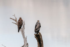 Hawks lurking Royalty Free Stock Images