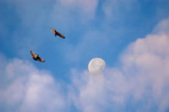 Hawks and moon in morning Royalty Free Stock Image