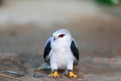 The hawks in training school for hunting birds and protect factory and house from excrement is healthcare royalty free stock images
