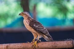 The hawks in training school for hunting birds and protect factory and house from excrement is healthcare royalty free stock photo