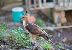 The hawks in training school for hunting birds and protect factory and house from excrement is healthcare royalty free stock image