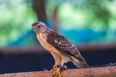 The hawks in training school for hunting birds and protect factory and house from excrement is healthcare stock image