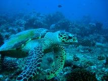 Hawksbil Schildkröte Lizenzfreies Stockfoto