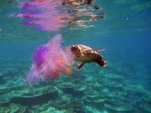 Hawksbil Schildkröte mit Quallen Stockfotografie