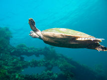 Hawksbil sea turtle Royalty Free Stock Photos
